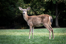 Beautiful Shot Of A White-tailed Deer