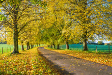 Avenue Of Autumn Beech Trees With Colourful Yellow Leaves, Newbury, Berkshire