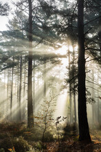 Rays Of Sun Breaking Through Mist In Woodland Of Scots Pine Trees, Newtown Common, Hampshire