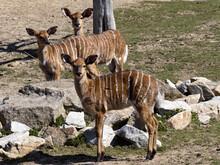 A Group Of Lowland Nyala Females, Tragelaphus Angasii, Observe The Surroundings