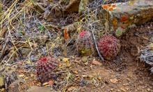 Desert Succulents Cacti, (Echinocereus Sp.) Cactus On A Hillside In Colorado, US