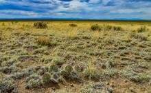 Cactus, Plains Prickly Pear Opuntia Polyacantha, Nature USA. Great Sand Dunes NP, Colorado, US