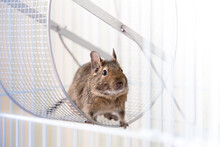 Domectic Chily Squirrel In The Cage