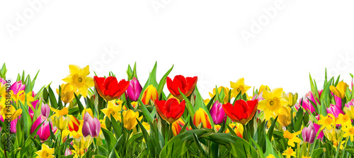 Colorful field of spring flowers, tulips;daffodils, photographed in studio, against white background Fototapeta