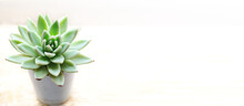 Succulent Echeveria In A White Pot On A Light Background In Banner Format With Place For Text