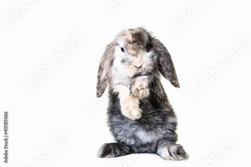 Fotografie, Obraz Cute brown,white, gray dwarf ram rabbit on hind legs photographed against isolated background in studio
