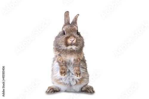 Tablou Canvas Cute gray, brown wild bunny stands on its hind legs against white isolated background