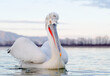 canvas print picture - Kroeskoppelikaan, Dalmatian Pelican, Pelecanus crispus