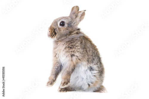 Obraz na plátně Cute gray,wild rabbit on isolated background in studio,standing on hind legs