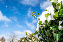 Beautiful Spring Landscape With Blue Sky And Melting Snow. Green Ivy With Snow. Spring Garden During The Thaw. Snow Melting On The Plants.