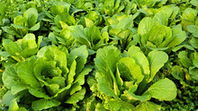 Winter Grown Cabbage, Seasoned Cabbage, Chinese Cabbage, 얼갈이배추