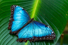 Beautiful Close Up View Of The Electric Blue Morpho Butterfly In Costa Rica