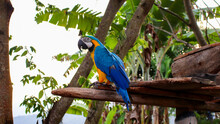 Blue-and-yellow Macaw Parrot Sitting On The Bench Of A Tropical Tree