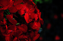 Closeup Shot Of Red Pelargoniums Flowers With Raindrops