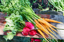 Radishes And Carrots, Freshly Picked In The Garden