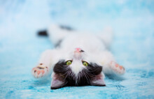 Charming Beautiful Kitten Lies On A Blue Background, Charming And Funny, Attracts Attention. The Cat Lies On Its Back. The Concept Of Pondering And Seduction. Copy Space For Text.