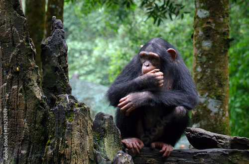 Young chimpanzee sitting at the rock Fototapete