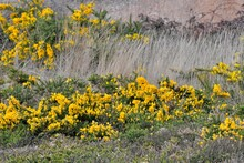 Field Of Yellow Gorse Flowers In Brittany. France