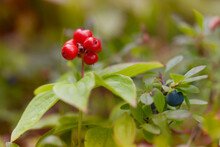 Berry Crop - Bunchberry And Blueberry Time