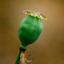 Isolated Poppy Seed Pod