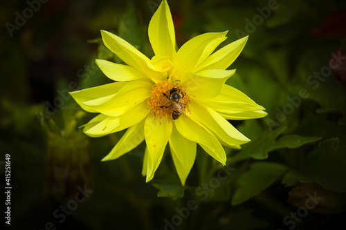Slika na platnu Pollinate scene: close-up on honey bee in colored flowers