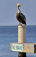 Brown Pelican Perched On Piling With NO WAKE Sign Below In Corpus Christi, Texas, With Gulf Of Mexico Behind