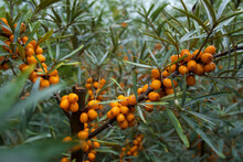 Yellow Sea Buckthorn Berries On A Branch