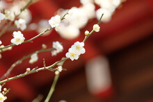 White Apricot Blossom In Blooming