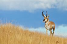 Pronghorn Antelope Buck In Native Prairie Habitat - Environmental Portrait Against A Natural Blue Sky Background