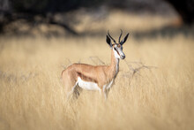 Springbok Stands In Tall Grass Watching Camera