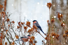 Two Common Bullfinch Males Feeding On Rhododendron Buds