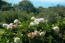 Beautifully Blossomed White Panicled Hydrangea Flowers In The Garden