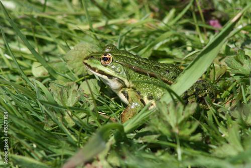 Canvas Print Grenouille verte dans la pelouse