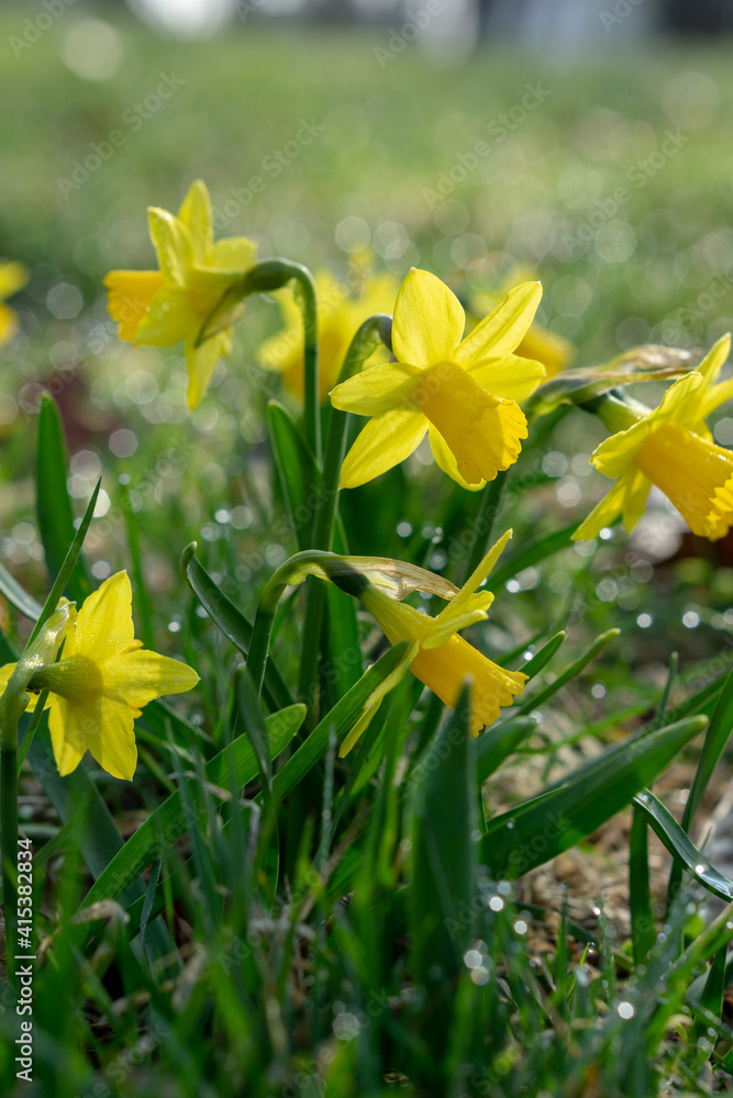 Fototapeta Daffodils on a spring meadow