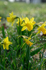 Daffodils on a spring meadow