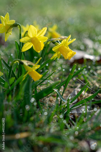Obraz Daffodils on a spring meadow - fototapety do salonu