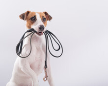The Dog Holds A Leash In His Mouth On A White Background. Jack Russell Terrier Calls The Owner For A Walk.