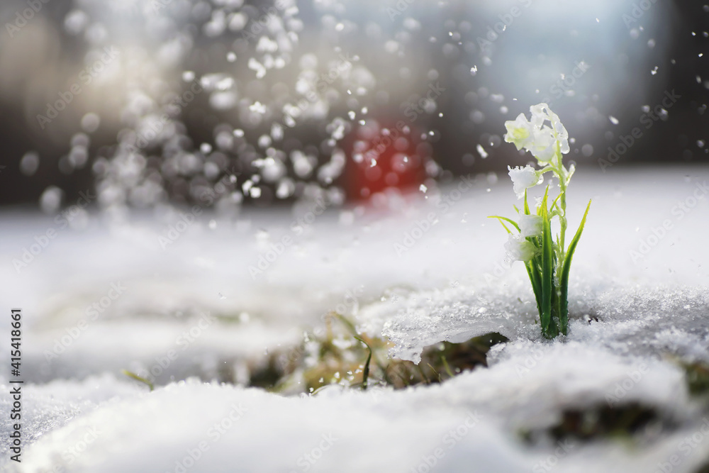 Fototapeta The first spring flowers. Snowdrops in the forest grow out of the snow. White lily of the valley flower under the first rays of the spring sun.