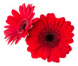 Leinwandbild Motiv Two   red gerbera flower heads isolated on white background closeup. Gerbera in air, without shadow. Top view, flat lay.