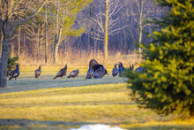 Wild Male Turkey Strutting His Stuff For The Females In Wisconsin