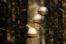 Bracket Fungus Covered With Snow In A Boreal Forest Of Estonia During Wintertime.