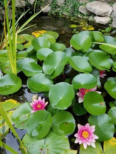 Fototapety, obrazy: Lily pad