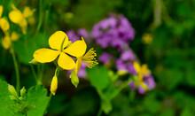 Greater Celandine Chelidonium Majus, Tetterwort, Nipplewort Or Swallowwort . Yellow Celandine Flowers And Buds On Green Grass Background. Closeup, Selective Shallow Focus, Blurred.