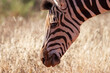 canvas print picture - Zebra close up, in Mokala National Park, Kimberley, South Africa
