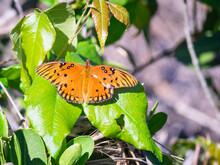 Gulf Fritillary Butterfly On A Plant