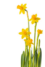 Yellow Mini Daffodils Isolated On White Background, Negative Space
