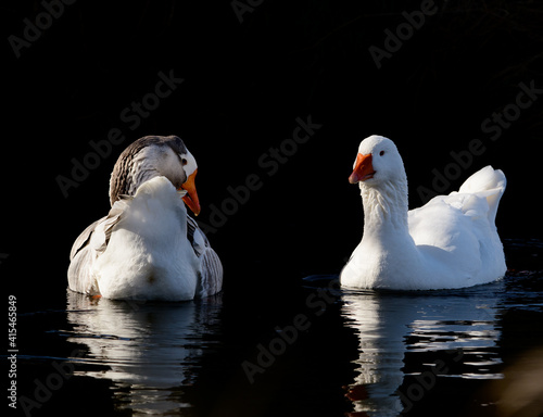 Obraz na plátne beautiful wild white wild geese in the creek
