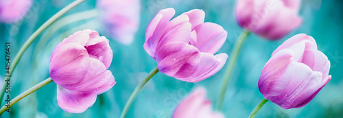 Fototapeta premium Floral Spring Nature background of tulip flowers