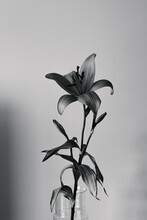 Lilium Against White Backgroud Lily Black And White
