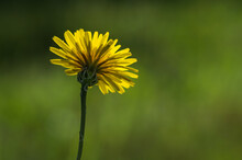 Flower,wild,yellow,coutryside